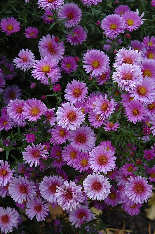Purple Dome Aster Aster Novae Angliae Purple Dome At Oakland Nurseries Inc Aster Xeriscape Landscaping Perennials