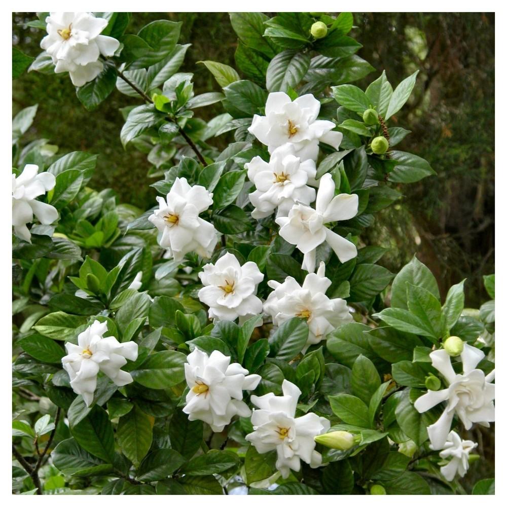Gardenia Frostproof 1pc National Plant Network U S D A