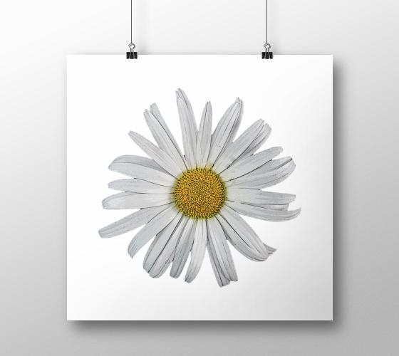 "Poster+""Single+White+Daisy+Print""+by+Julia+Donaldson"