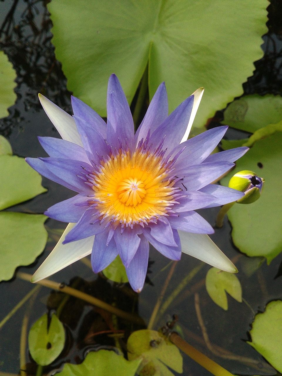 Garden Lotus Beautiful Bright Flowers Garden Lotus