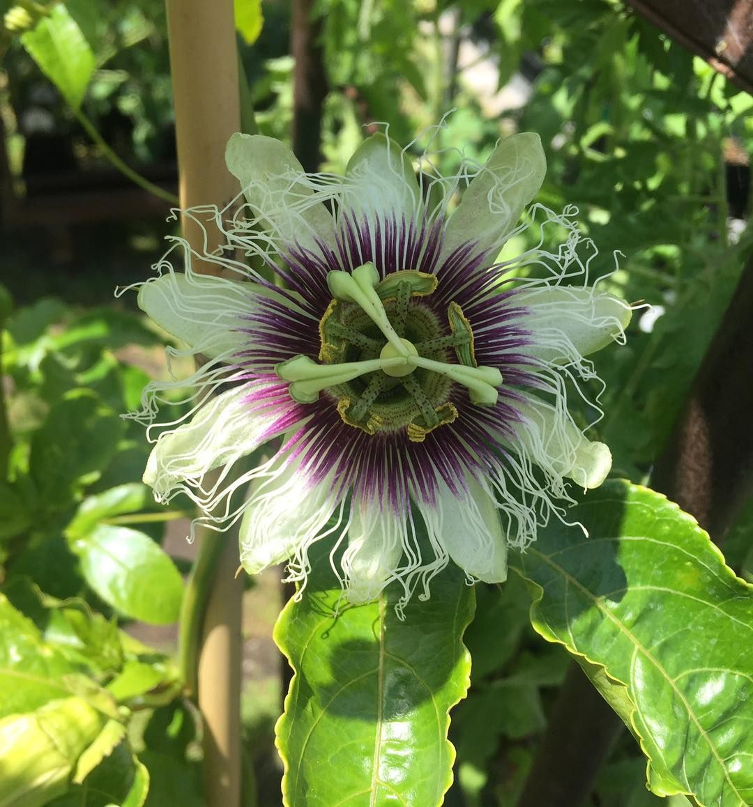 Passion Flower Passiflora Edulis Passion Fruit Semi Evergreen Vine Up To 30 White And Purple Flowers Spring Autumn Produces Edible Fruit Hardy To 30f