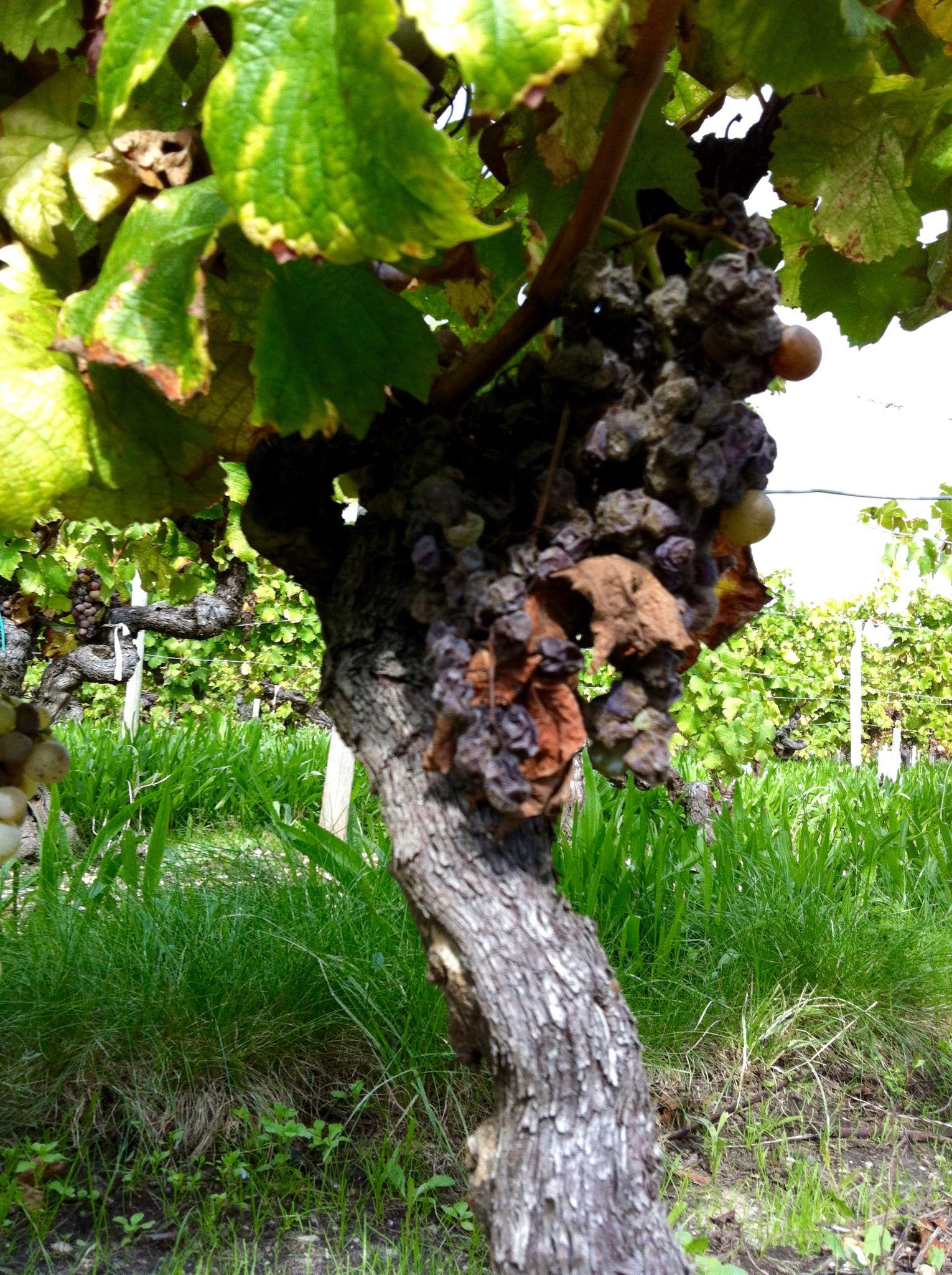 Harvest at Domaine du Noble