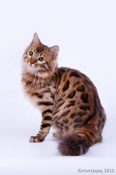bfa40c23ae Some Bengals are generally talkative while others prefer to wait for the  right time to communicate. Many Bengal Cats have an affinity for water and  will ...