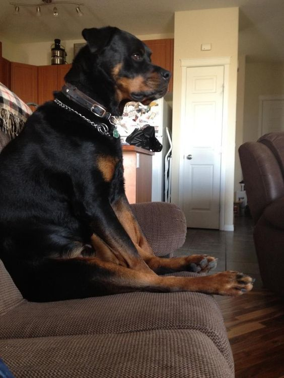Resultado de imagen para rottweiler dog, watching tv