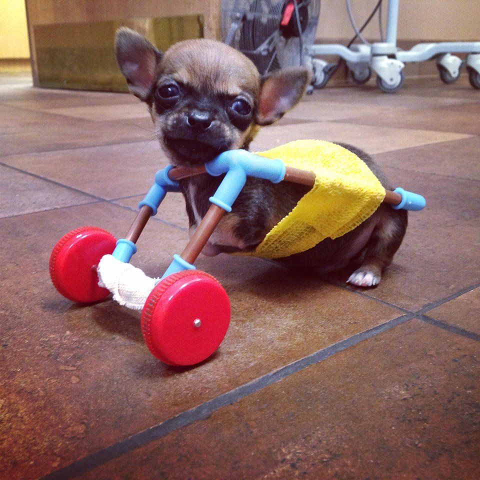 Chihuahua Puppy With Missing Front Legs Gets Around Using Handmade