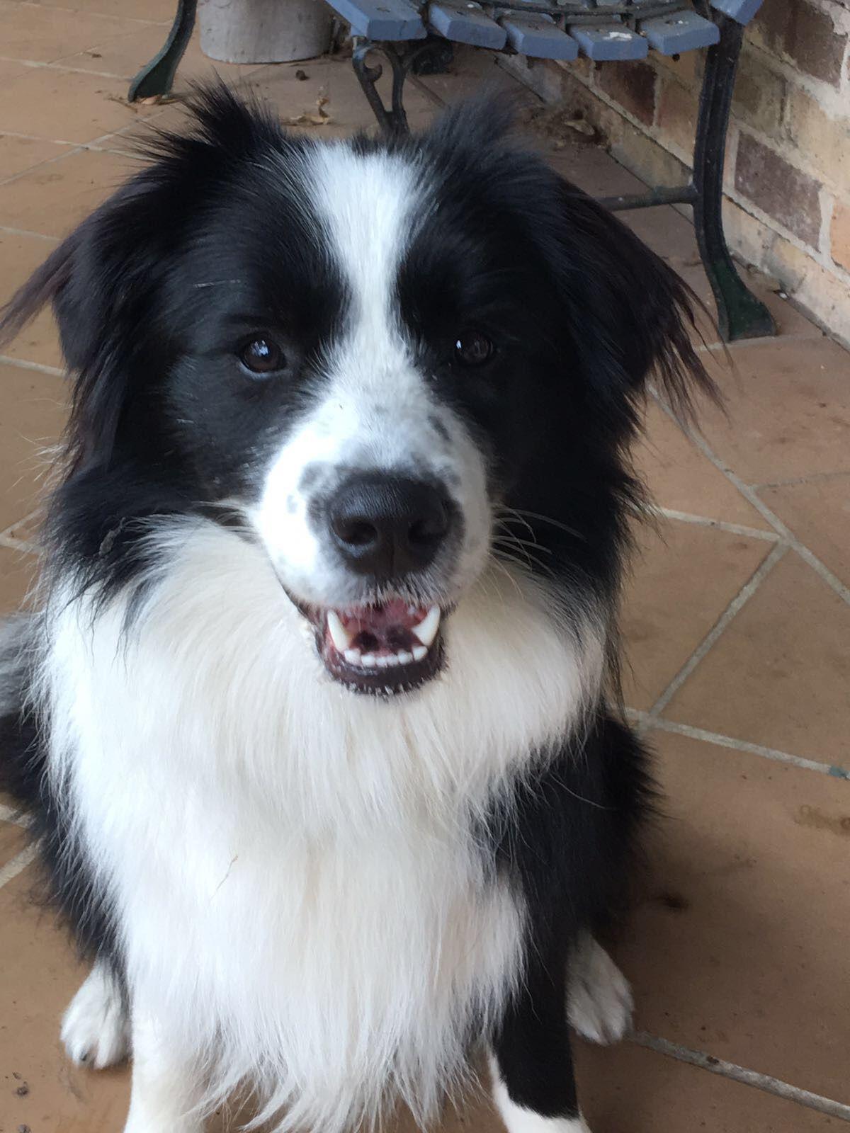 Missing Skye Big Dog Little Dog Collie Puppies Border Collie Dog