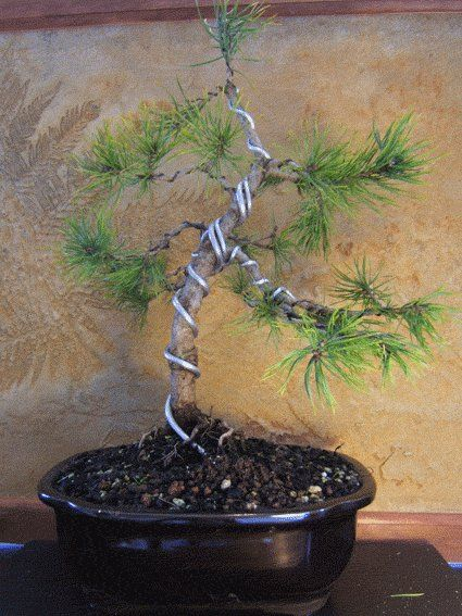 bonsai wiring pinterest bonsai wire bonsai and bonsai art rh pinterest com Bonsai Wire Sizes Bonsai Copper Wire