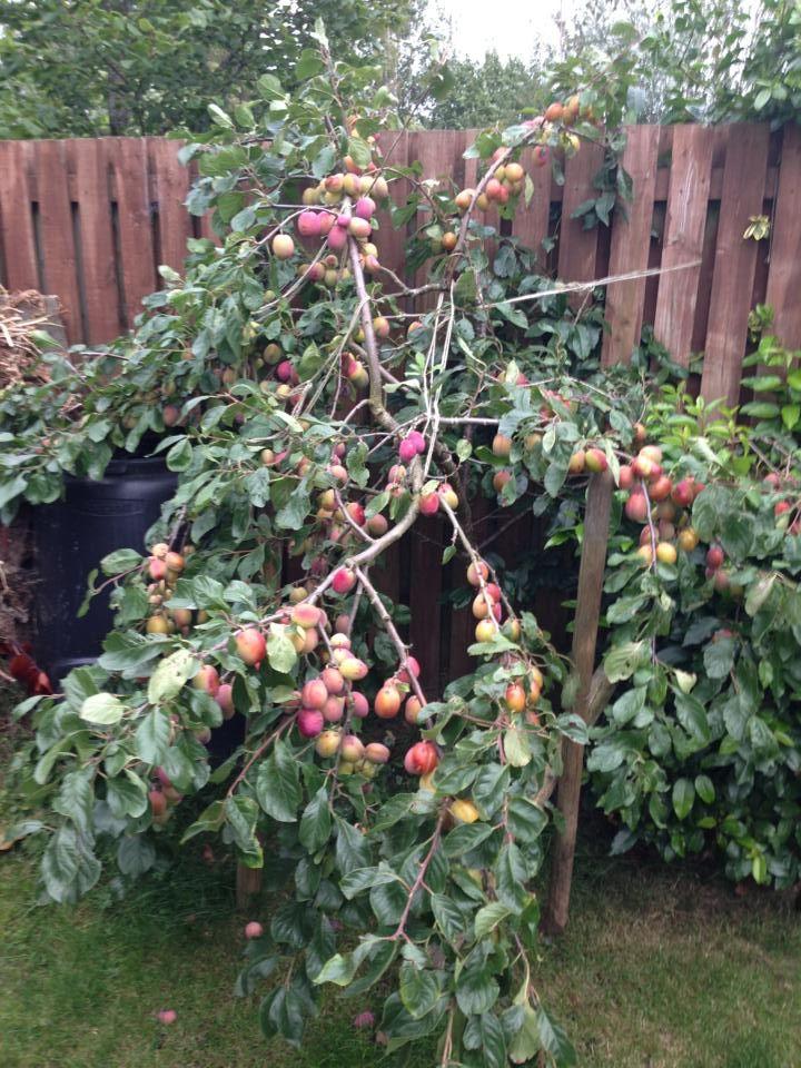 My Bountiful Victoria Plum Tree Victoria Plum Plum Tree Dream Garden