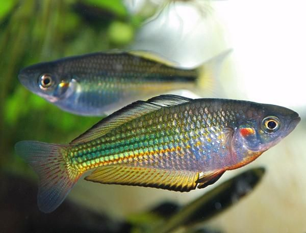 Melanotaenia fluviatilis gowrie creek condamine river for Tropical rainbow fish