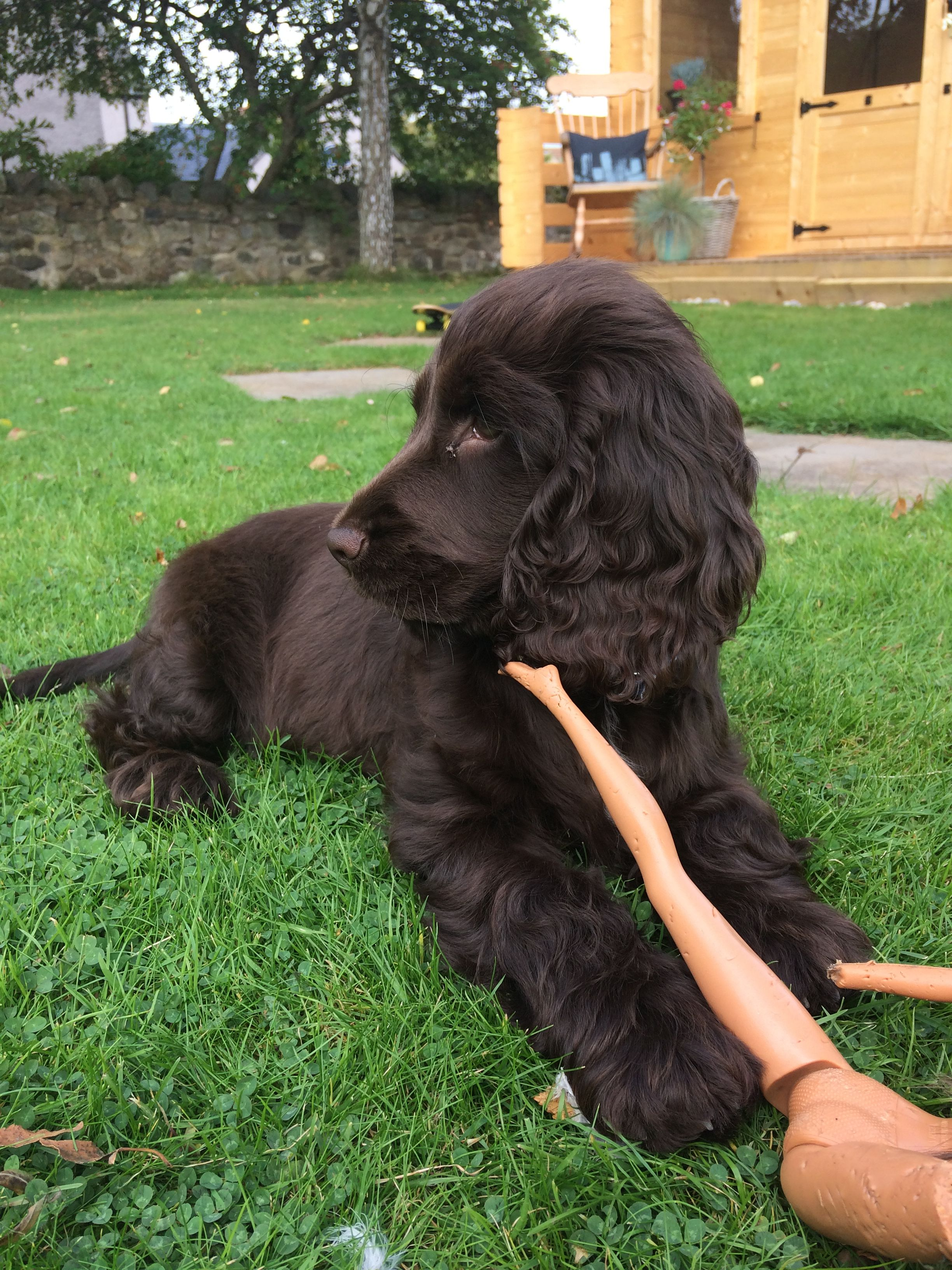 Pin By Tammy Clater On Pet With Images Cocker Spaniel Puppies