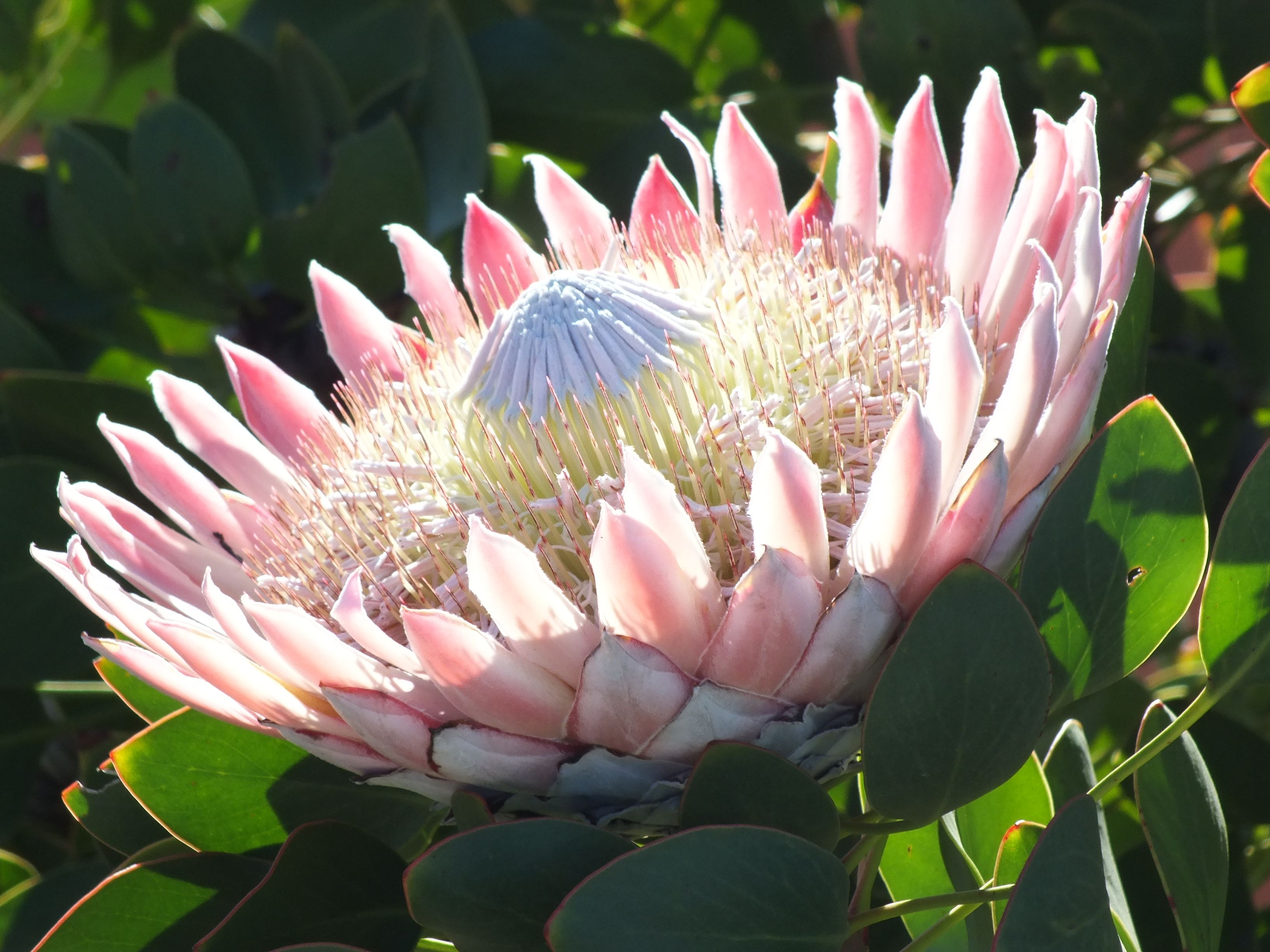 Pin On Flora Of The Western Cape