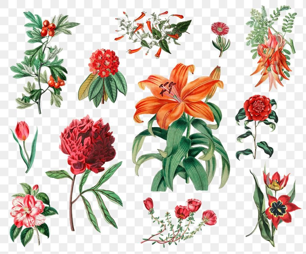 Summer Flowers Png Illustrated Vintage Collection Free Image By Rawpixel Com Gade Flower Illustration Summer Flowers Botanical Flowers