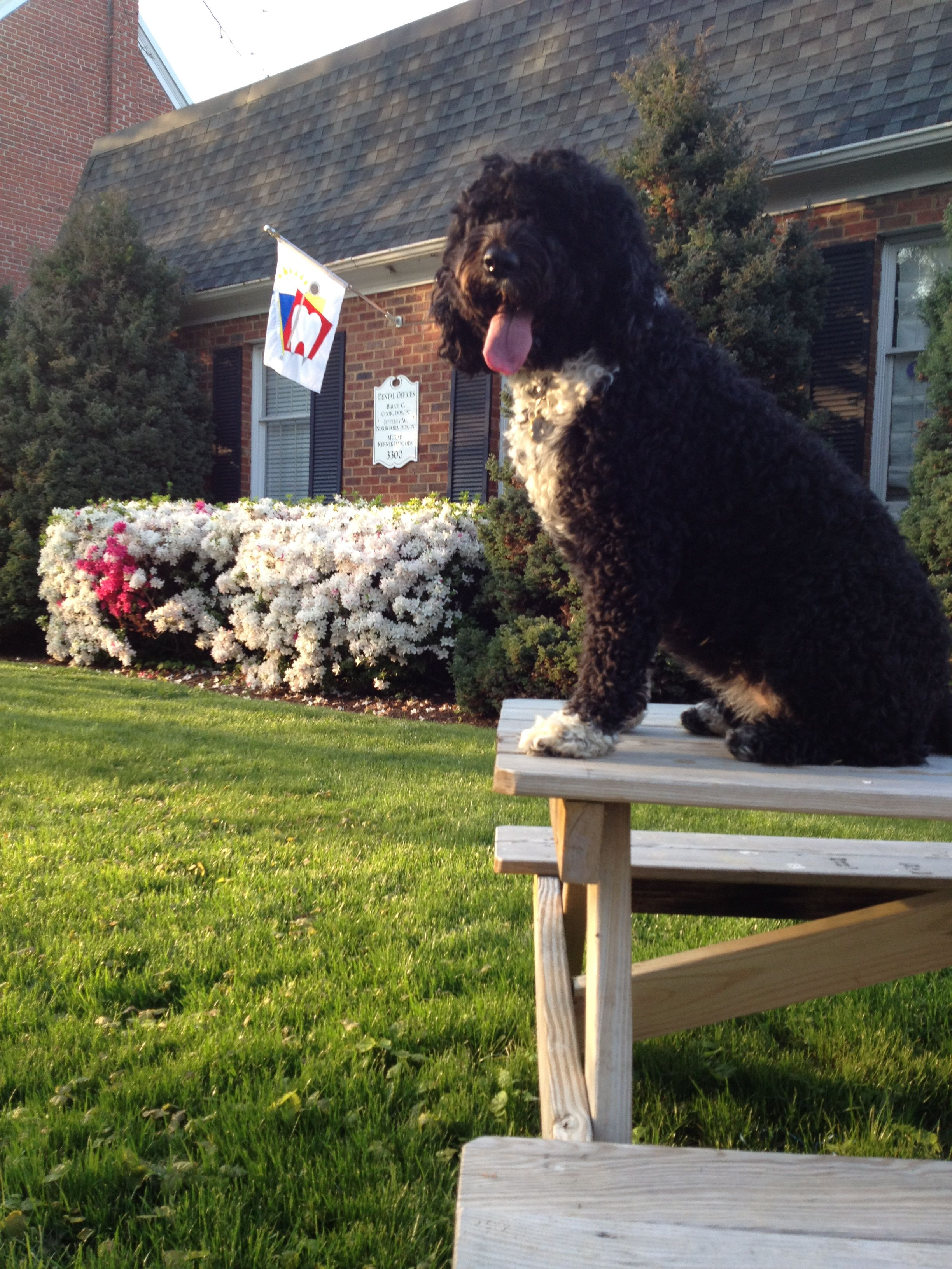 Always Happy Portuguese Water Dog Animals Dogs
