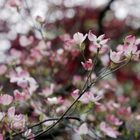 The Stem Leaves And Blossoms Of The Japanese Cherry Tree Prunus Serrulata Are Toxic To Dogs Japanese Cherry Japanese Cherry Tree Japanese Cherry Blossom