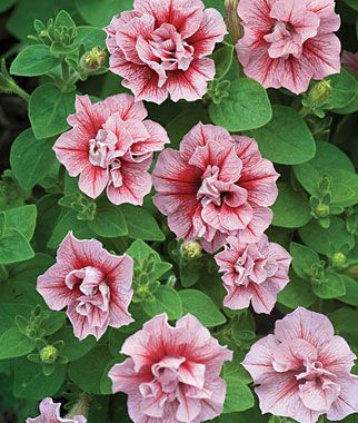 Summer Madness Double Hybrid Petunia Seeds And Plants Annual Flower Garden At Burpee Com Annual Flowers Flowers Flower Seeds