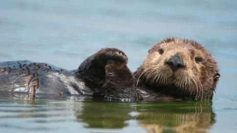 Hero A sea otter floating on its back in California