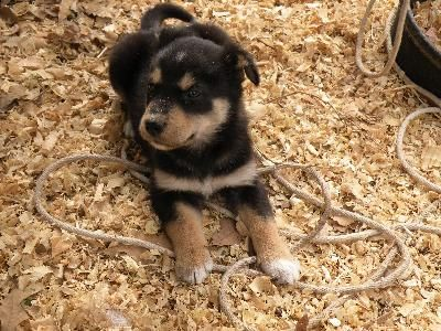 Newfoundland Husky Mix Puppies For Sale Dog Breed Info