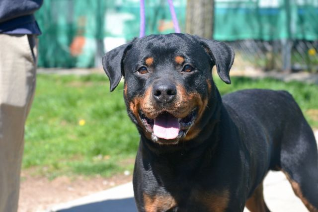 Male Black Rottweiler Mix 5 Yrs Stray Stray Wait No Hold