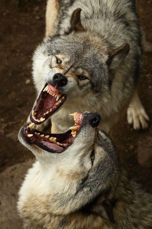картинки волк с оскаленной пастью эстонии однозначно