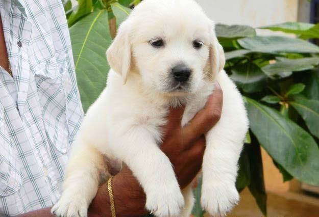 Golden Retriever Puppies For Sale In Chennai Zoe Fans Blog