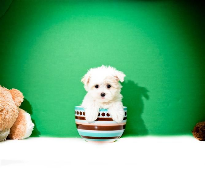 Teacup Dolly Is One Of Our Maltese Puppies For Sale 1 Maltese Puppy Teacup Puppies Maltese Maltese Puppies For Sale