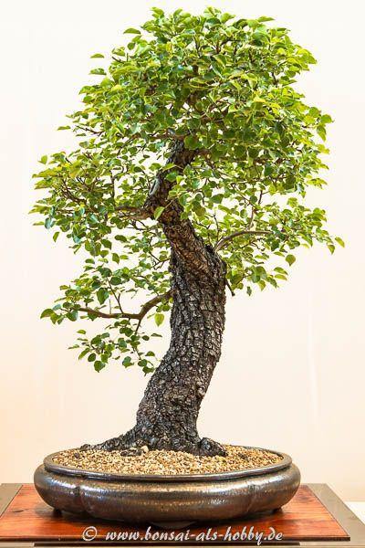 Wild-Birne oder Holz-Birne (Pyrus pyraster) #bonsaiplants