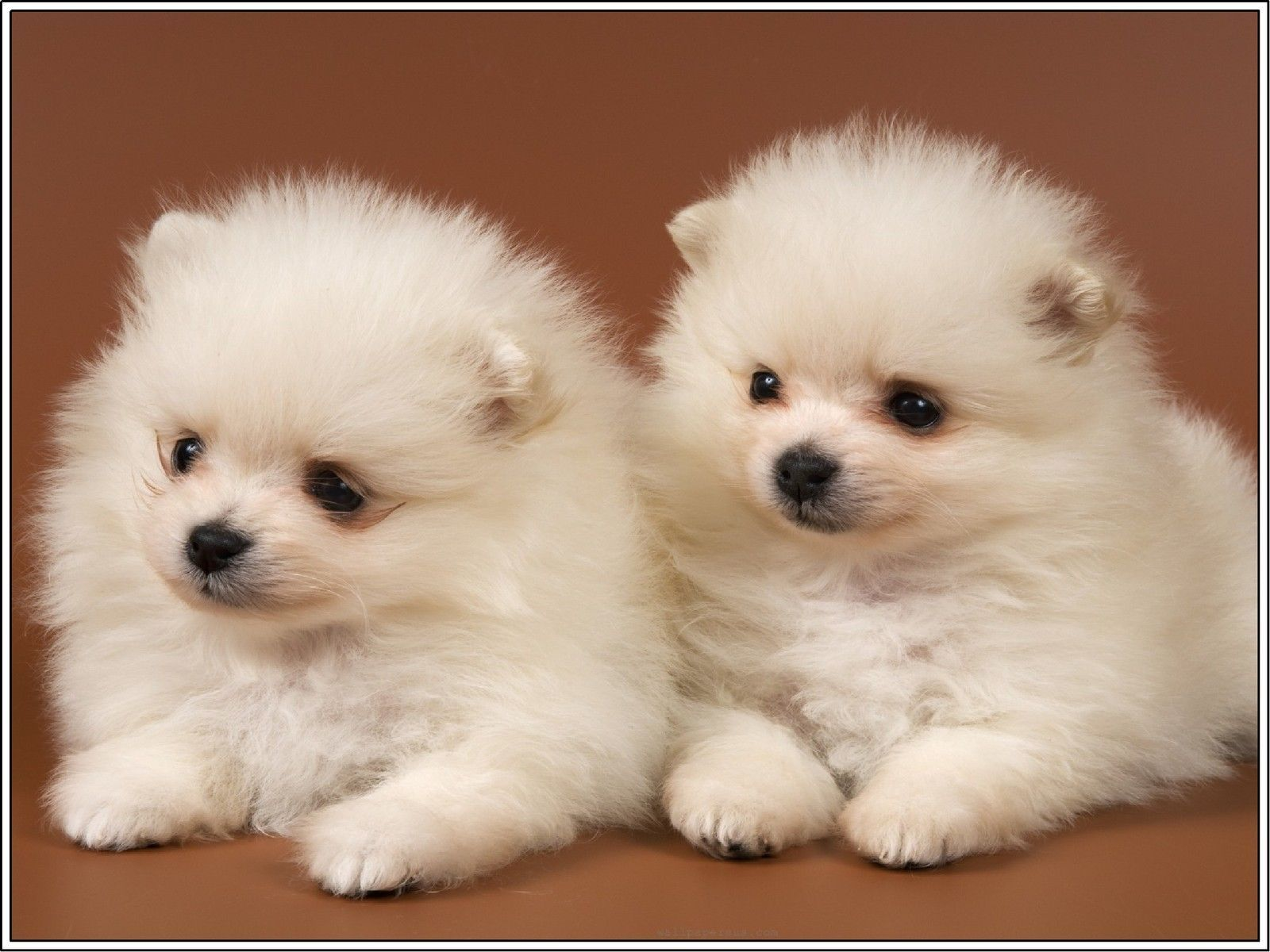 Pack puppy dog pomeranian dogs puppies white greeting notecards