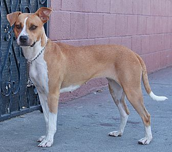 Pictures of Mabel von Lovskal a Boxer Mix for adoption in