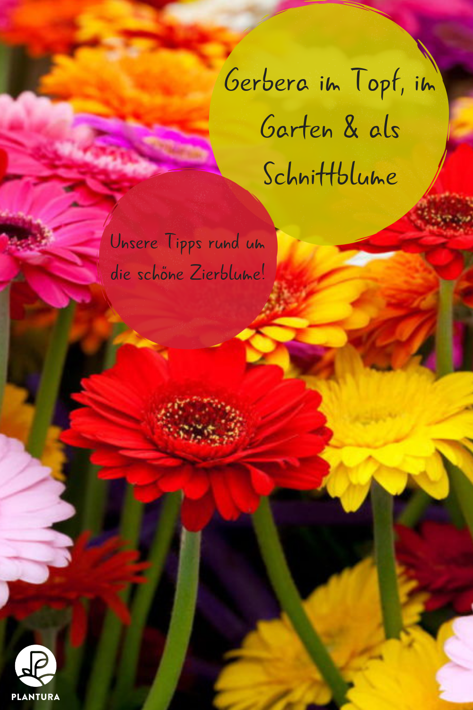 Gerbera Im Topf Im Garten Als Schnittblume Plantura Gerbera Gerbera Pflanze Schnittblumen