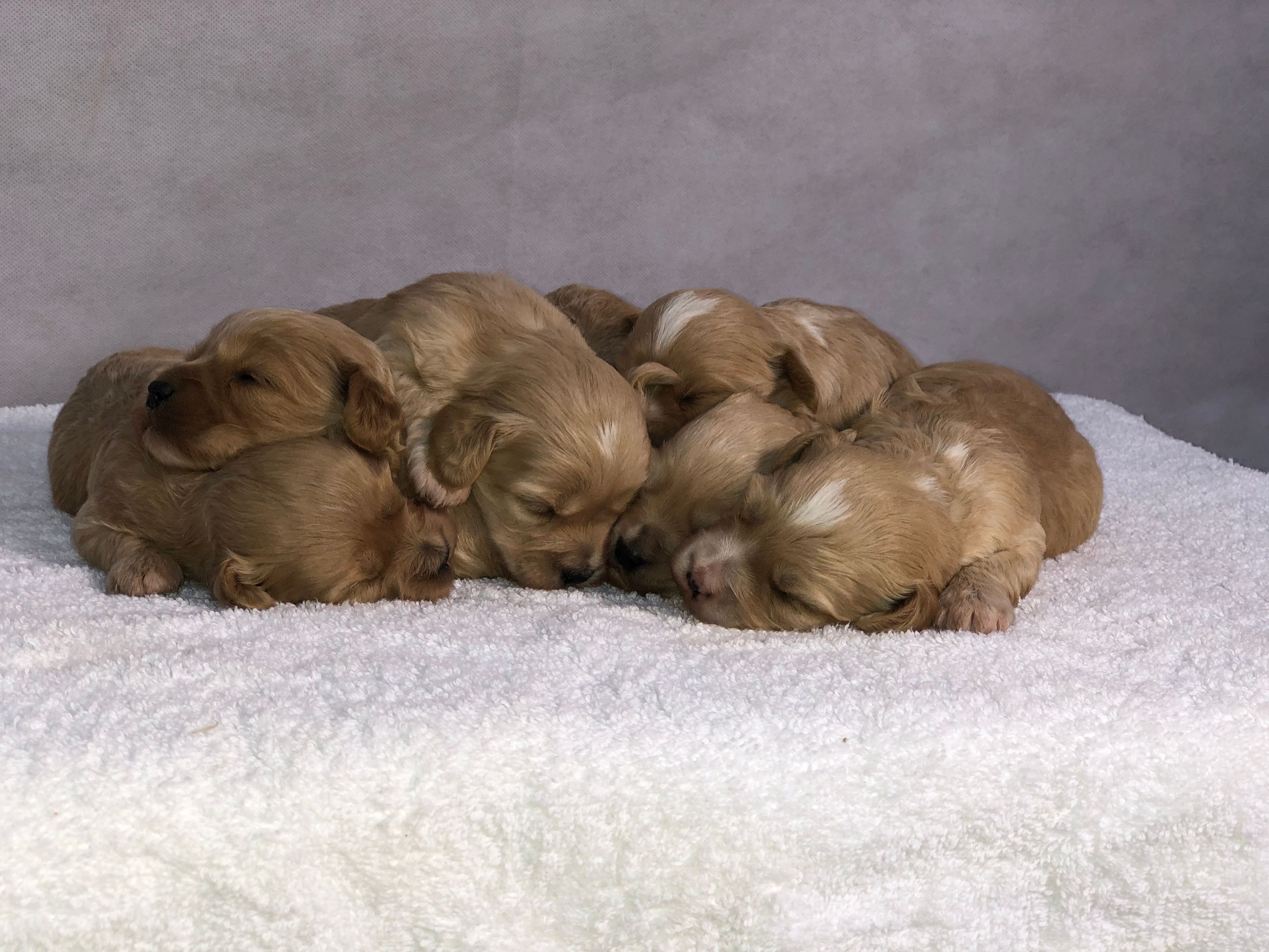 Licenced Home Breeders Of Maltipoo And Cavapoochon Puppies In