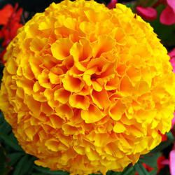 Image result for marigold flower drawing and painting project marigold flower mightylinksfo