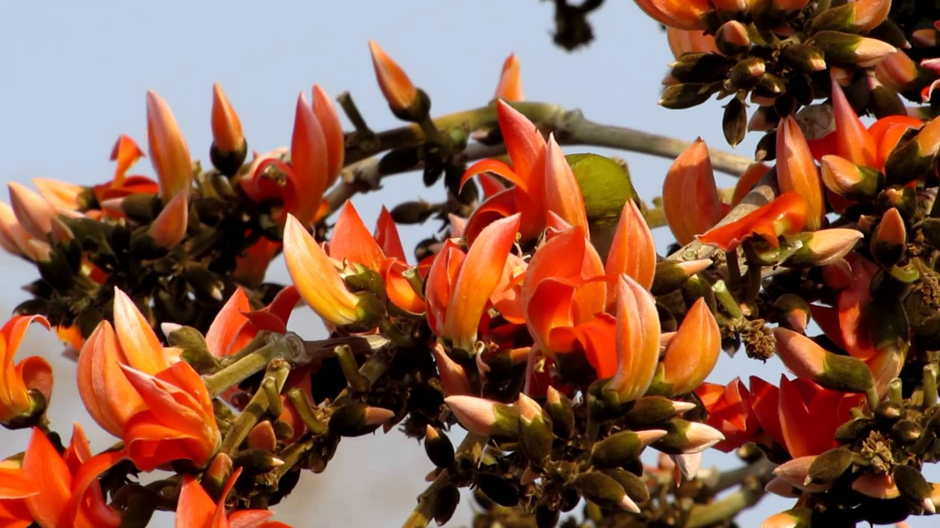 পলাশ ফুল.. | Plants, Amazing, Festival Palash Flower Wallpaper
