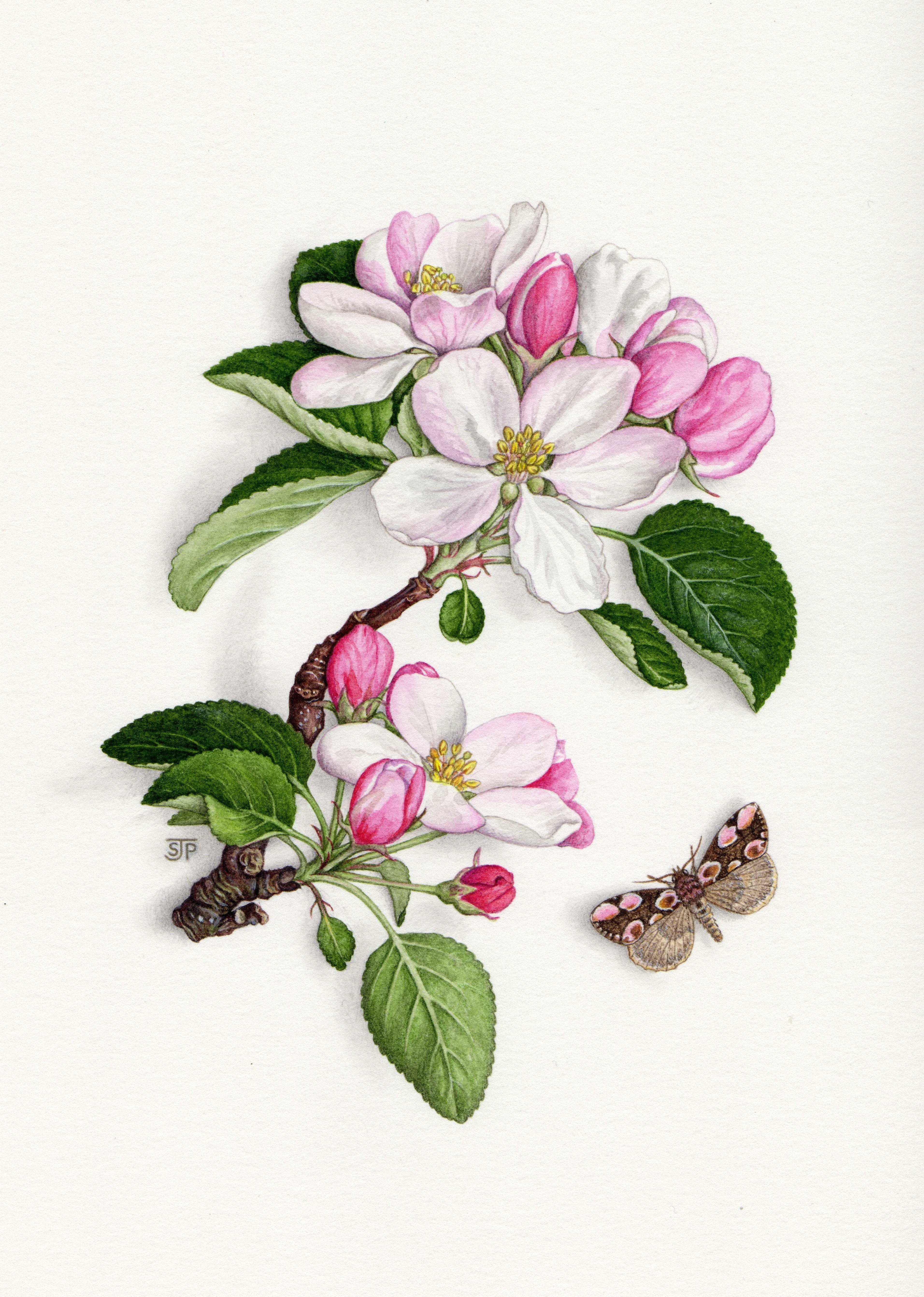 Apple blossom and peach blossom moth, Botanical/natural ...