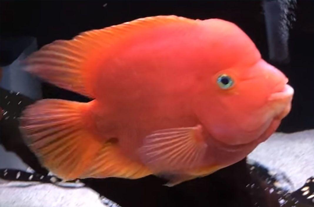 King Kong Parrot Flowerhorn Flowerhorn Cichlids Parrot Fish Attractive
