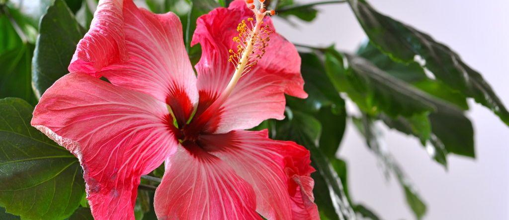 Hibiscus Tea Flower Power Nutritionfactsorg Veg Body Care