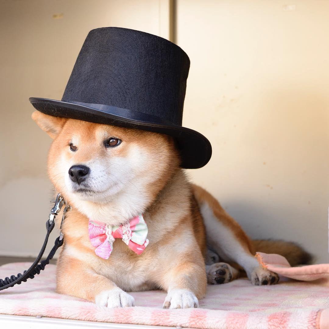 Shiba Dog Animal Cute Funny Shiba Inu Shiba Shiba Inu Doge