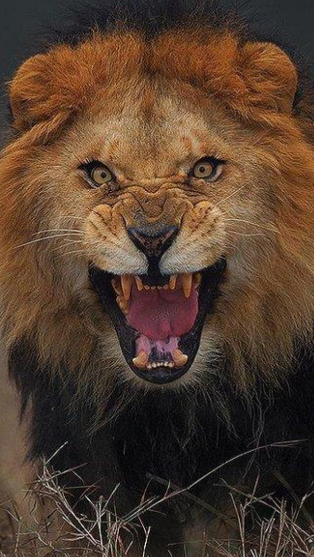 Angry Male Lion Growling Close Up Portrait By Atifsaeed Saeedatif Malelion Lionmale Lion Lionportrait Lionface An Lion Pictures Animals Lion Images