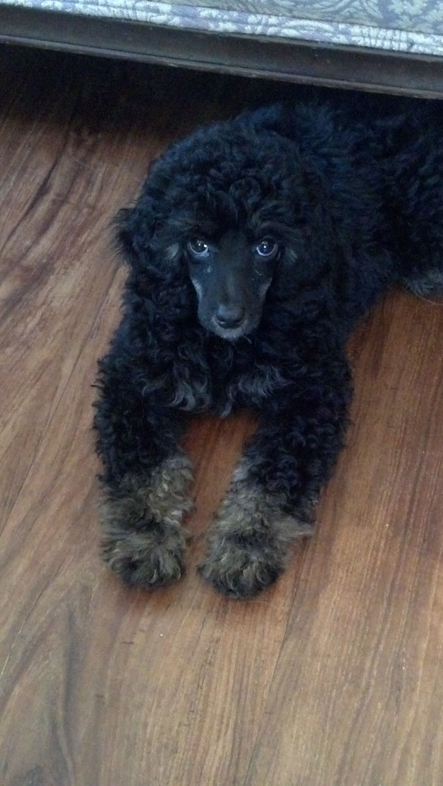 Silver Phantom Poodle Gorgeous Toy Miniature And