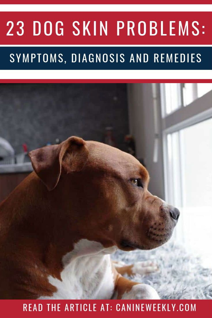 23 dog skin conditions symptoms diagnosis and remedies
