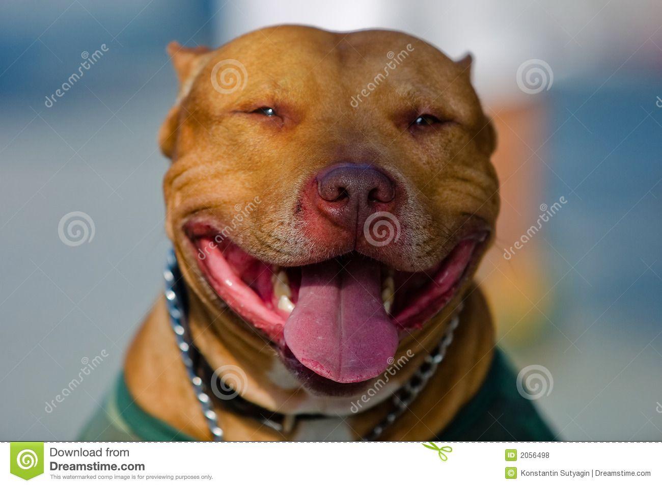 American Staffordshire Bull Terrier Portrait American Staffordshire Bull Terrier Bull Terrier American Pitbull Terrier