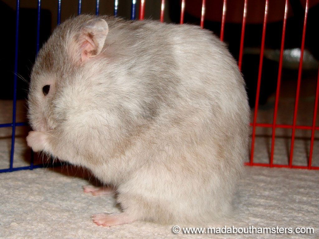 Long Haired Sable Roan Female Hamster Syrian Hamster Long Hair Styles