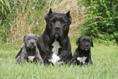 Cane Corso Un Gardien Hors Pair Pavlos Dog Cute Animals