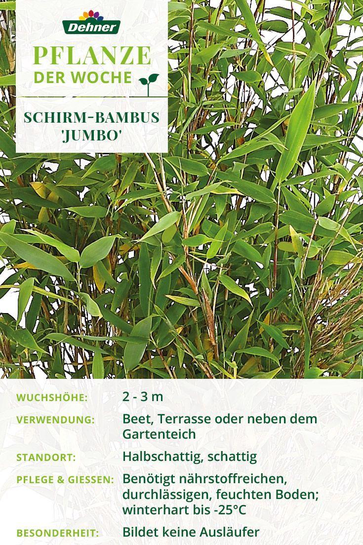 Pflanze Der Woche Bambussichtschutz Der Bambus Ist Ein Toller Sichtschutz Fur Euren Garten Pflanzen Deko De In 2020 Pflanzen Bambus Pflanzen Bambus Sichtschutz