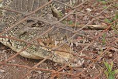 Un cocodrilo de la especie Rhombifer cubano, en su jaula, con las fauces abiertas