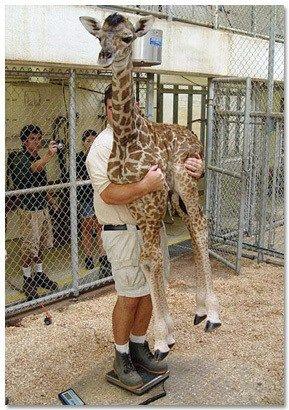 Weighing Baby Giraffe : weighing, giraffe, Weigh, Giraffe, Giraffe,, Funny, Animals