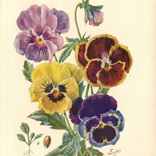 Pastel Pansies 1929 Botanical Art Pansies Flower Illustration