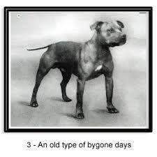 Afbeeldingsresultaat voor difference american pitbull terrier staffordshire bull terrier
