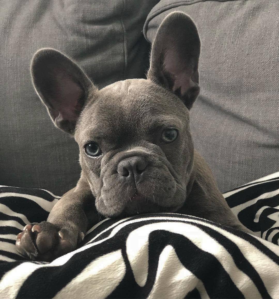 G R E Y Grey French Bulldog Cute Bulldog Puppies Grey French