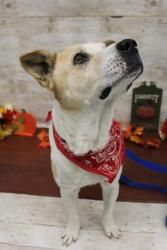 Banjo Is An Adoptable German Shepherd Dog Dog In Keller Tx I M