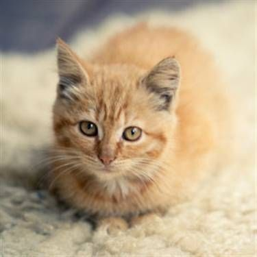 Light Orange Cat Cats Picture Dog Cat Pictures Fancy Cats